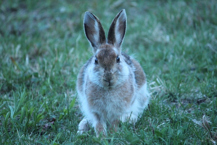 Snowshoe hare looking directly at the camera