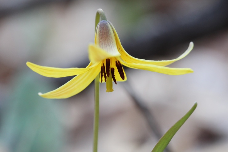 Close up image of a trout lily flower
