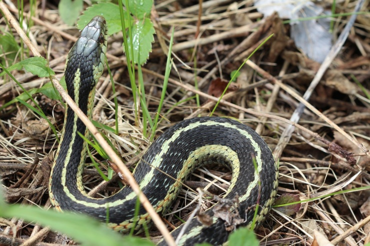 Garter snake curled and slightly raised in the grass