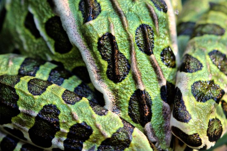 Close up of the back of the norther leopard frog showing the range of markings, including spots of colour that move over the ridges in the skin