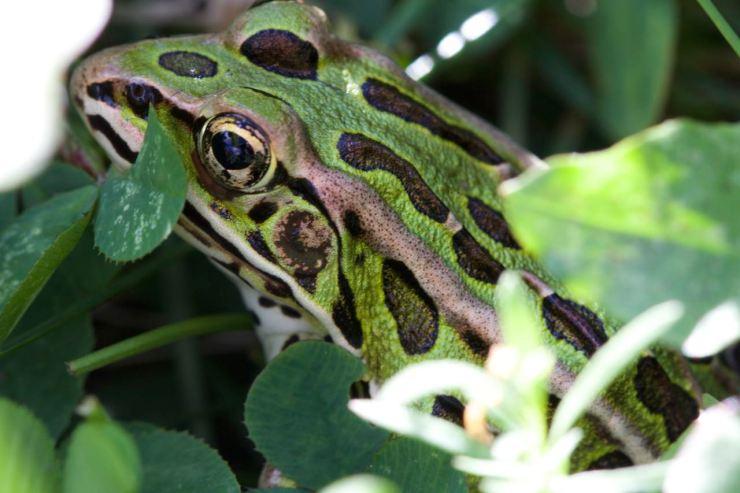 A leopard frog hiding amongst grass and clover
