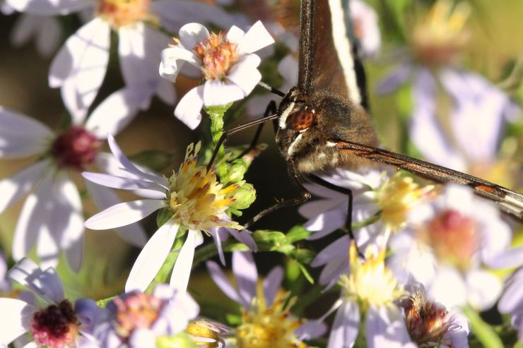 White admiral on an aster